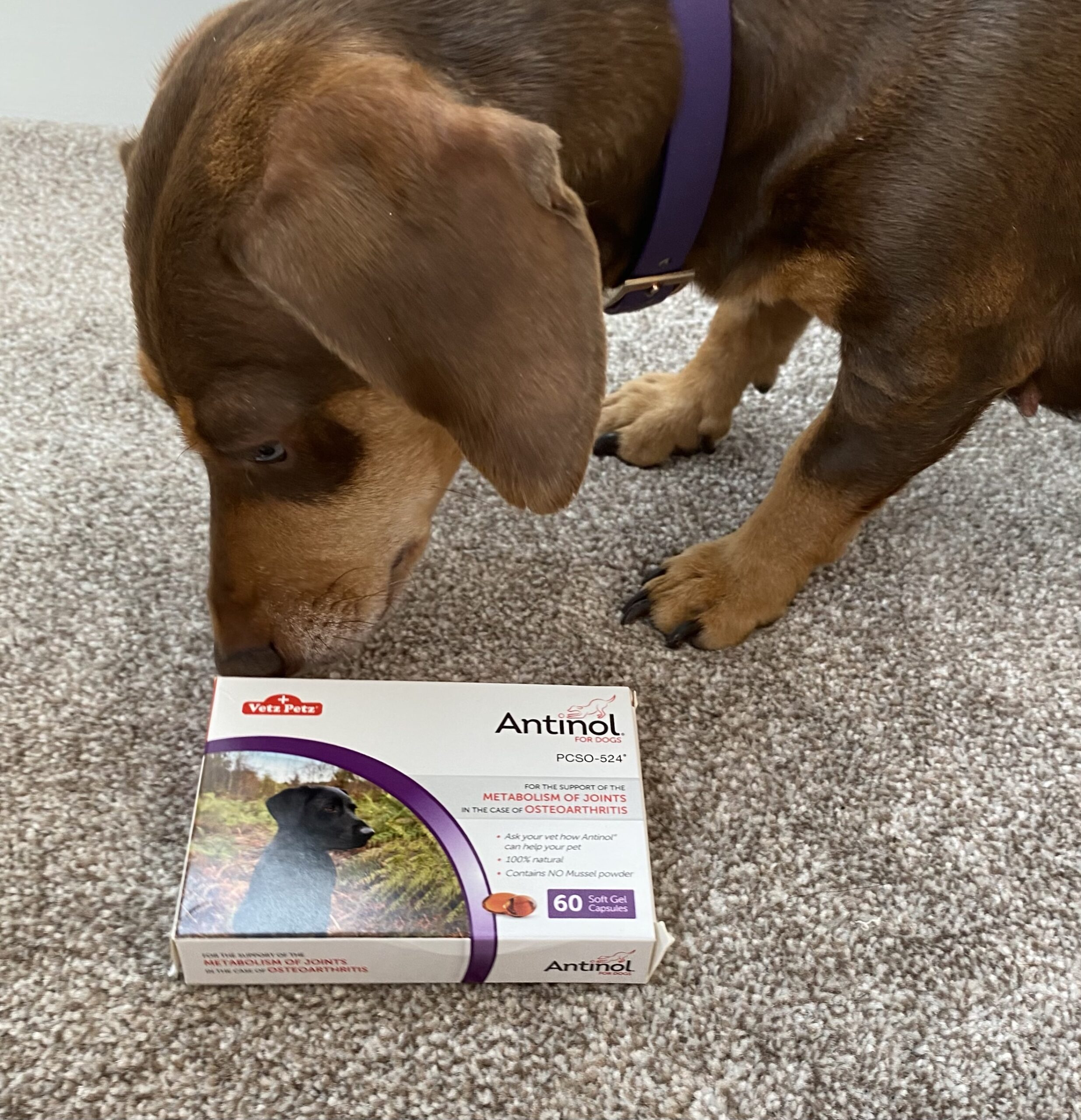 preventing joint problems for dogs with antinol